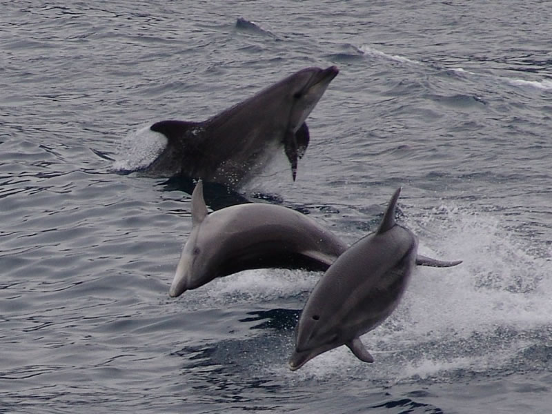 Dolphins in Scandola reserve